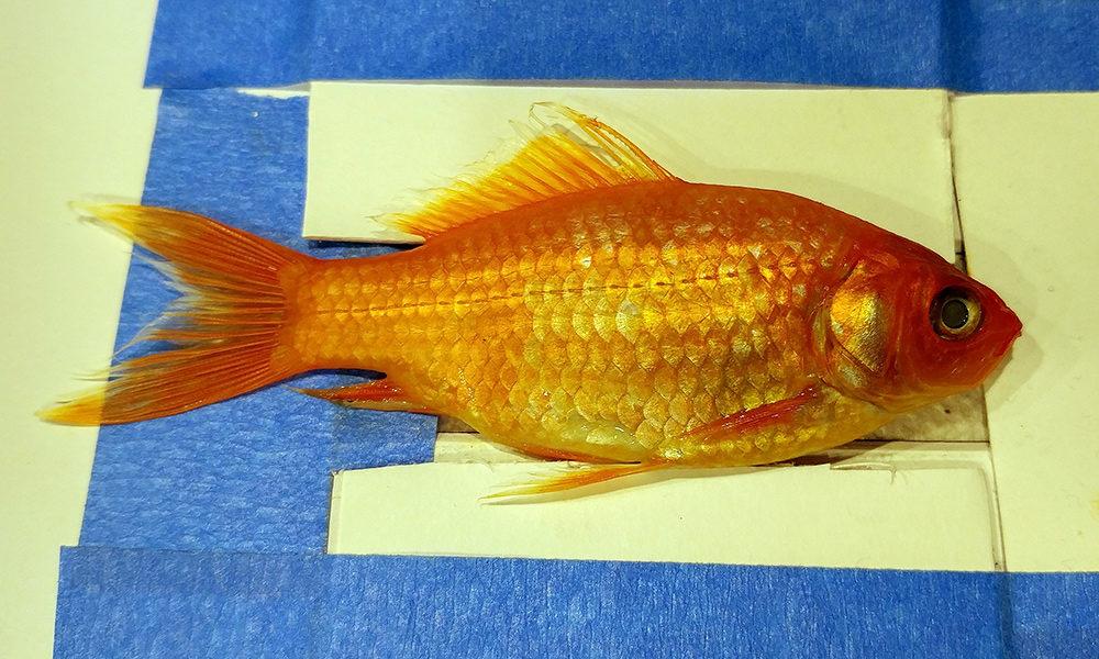 Goldfish specimen